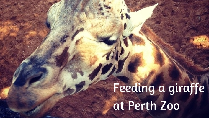 Feeding a giraffe at Perth Zoo, Western Australia