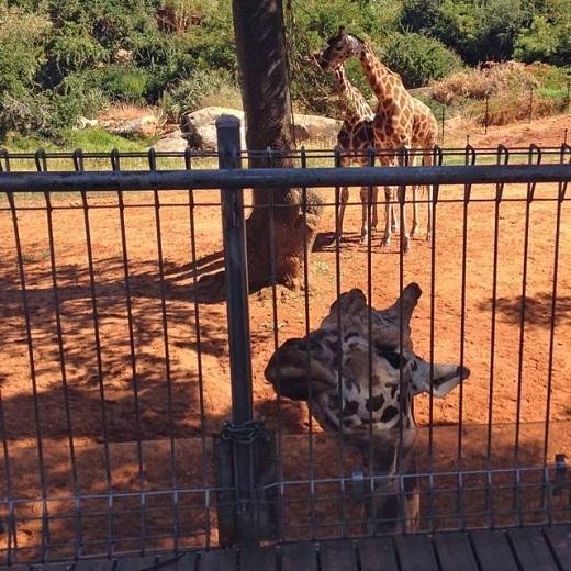 Feeding giraffes at Perth Zoo, Western Australia