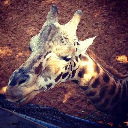 Feeding the giraffe at Perth Zoo, Western Australia